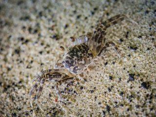 Crab on the black beach