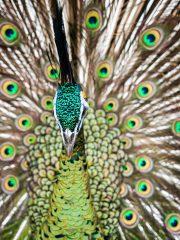 Bali Bird Park - Peacock