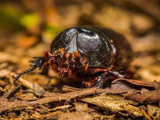 Bug - male